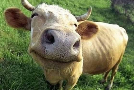 mucca-felice